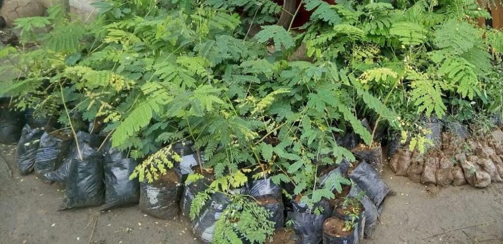 Jeunes arbres à planter