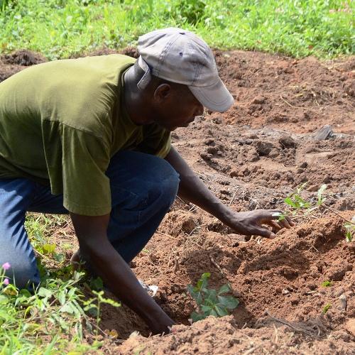 Plantation jeune pousse