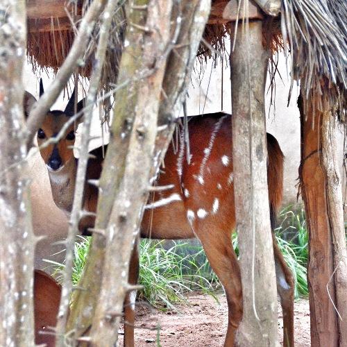 Antilope aquatique