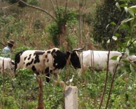 Les Peuls et leurs troupeaux