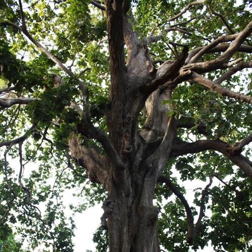 arbre-foret-sacree