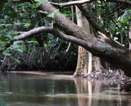 La forêt aquatique de Lokoli