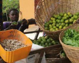 Cueillette d'agrumes pour l'orphelinat